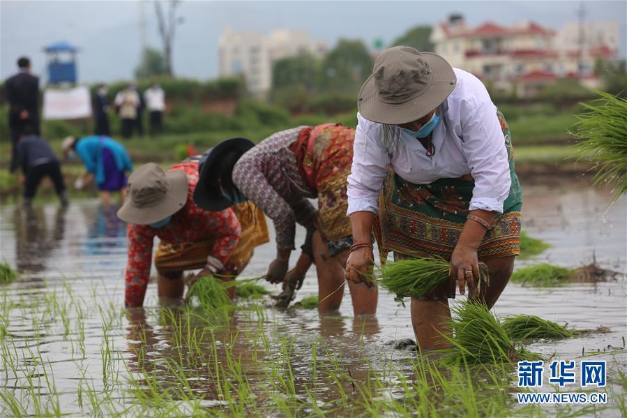 """(国际)(3)尼泊尔农民""""水稻节""""里忙插秧"""