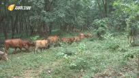 """海胶集团探索""""胶林养牛""""发展循环经济 打造新型胶园综合体"""