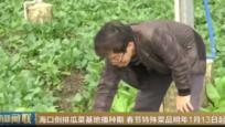 海口倒排瓜菜基地播种期 春节特殊菜品明年1月13日起供应