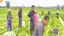罗浮村小白菜:丰产不丰收400亩急待采收 将建立合作社科学种植