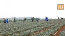 """防御台风""""山竹"""":海南农垦 用最严的标准 做最充足的准备"""