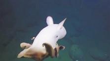 小飛象章魚現身海底