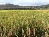 海南南繁重大成果:多胚孪生超级杂交水稻产量创新高