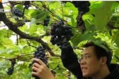 脱贫攻坚见真章:葡萄熟了 旅游采摘助农增收