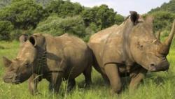 南非2018上半年逮捕犀牛盗猎分子365人