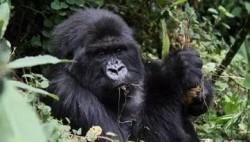 卢旺达濒危山地大猩猩获中文名