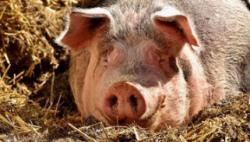 老挝已有2500头猪死于非洲猪瘟