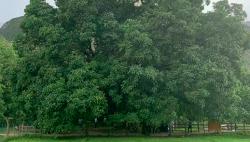 千年核桃林:绿叶成荫子满枝