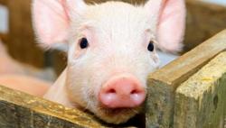 韩国确认出现非洲猪瘟疫情 感染途径尚在调查中