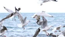 报告称气候变化严重影响新西兰海洋生态 90%海鸟面临灭绝