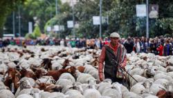 """马德里庆祝传统""""放牧节"""" 绵羊成群结队""""逛大街"""""""