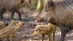 防非洲猪瘟扩散 韩国民官军第2次联合捕捉野猪