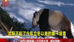 当四川熊猫第一次见到大雪...网友笑翻!
