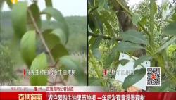 农户网购牛油果苗种植 一年后发现竟是景观树