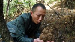 """云南现1150克""""巨型""""黑松露 将被永久收藏于中国野生菌博物馆"""