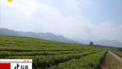 茶园复产茶农采摘忙 企业借力电商保增收