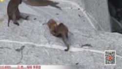 """罕见!云南26只""""国一级""""熊猴一起玩水"""