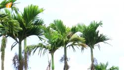 海南科研机构联手破解病虫害 支撑槟榔产业可持续发展