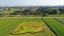 航拍杭州五彩水稻田风景如画