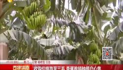 收购价格跌至三毛 香蕉难销种植户心焦