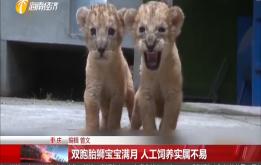 雙胞胎獅寶寶滿月 人工飼養實屬不易