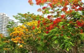 海南竟然有黄色的凤凰花,你见过吗?