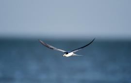 白额燕鸥集群飞舞海口五源河国家湿地公园