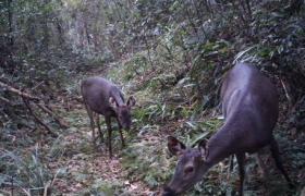 雨林动物之水鹿