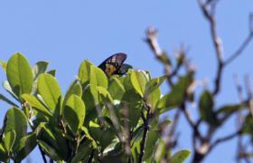 雨林动物之金斑喙凤蝶
