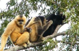雨林动物之海南长臂猿