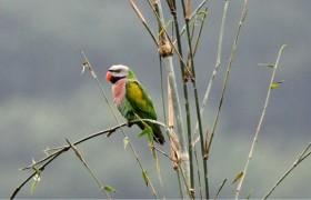 雨林动物之绯胸鹦鹉