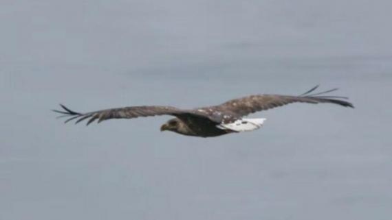 国家一级保护动物白尾海雕现身甘肃肃南 天际翱翔水面嬉戏
