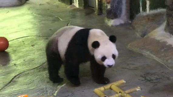 大熊猫贡贡、舜舜在海南过6岁生日 首届海野国际猫粉日举行