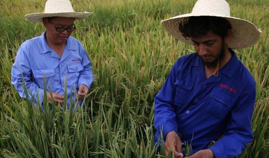 達則兼濟天下——記在巴基斯坦教授雜交水稻技術的中國專家