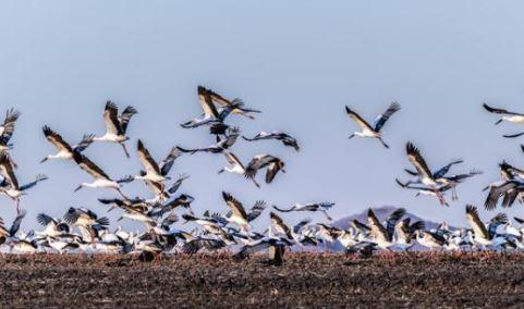 中国北疆兴凯湖流域发现历年最大东方白鹳迁徙种群