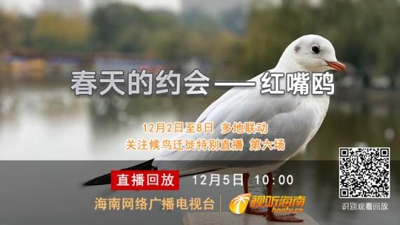 东部候鸟迁徙之路联动直播第六场:春天的约会—红嘴鸥与昆明相伴34年