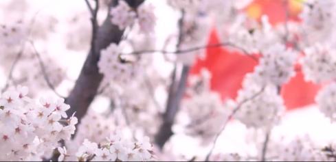 看樱花似雪,为英雄而歌!抗疫公益MV《山河无恙在我胸》