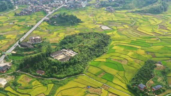 广西三江:抢抓农时收早稻