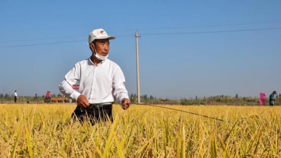 海水稻沙漠边缘实地测产