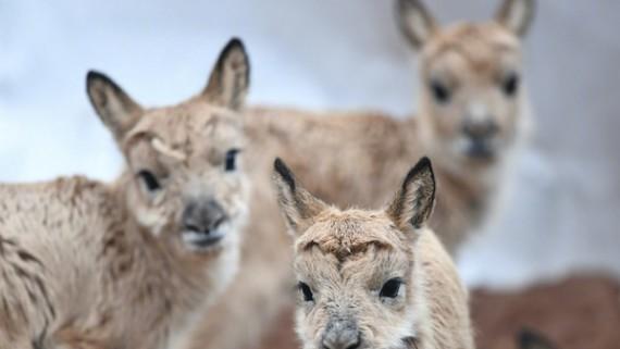 可可西里藏羚羊大规模迁徙产仔结束