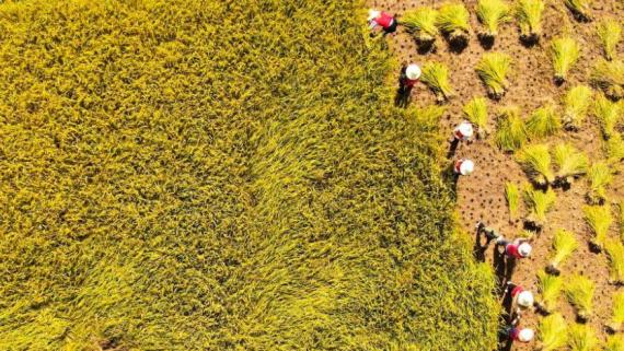 金秋十月江西吉州遍地金黄 果实累累谷满仓