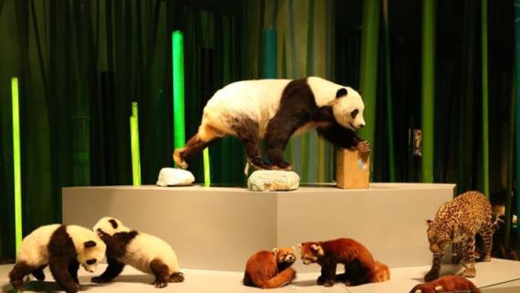"""""""成都大熊猫博物馆""""开启内部试运行"""