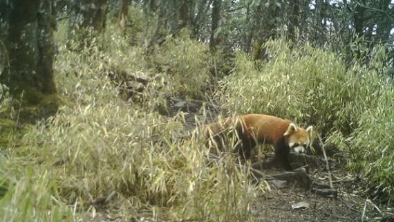 大熊猫国家公园发现雪豹新群体