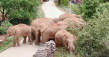 云南北移亚洲象群向西北小范围移动