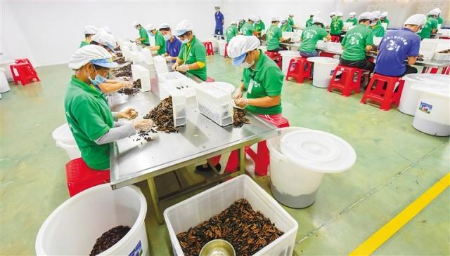万宁槟榔加工业补短板提质效 预计今年年产值将增长40%左右