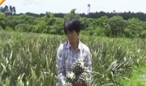 """菠萝难销:22亩菠萝要""""黄""""了 镇政府助力寻找收购商"""