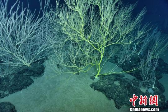 海山顶上巨大冷水珊瑚。 供图。