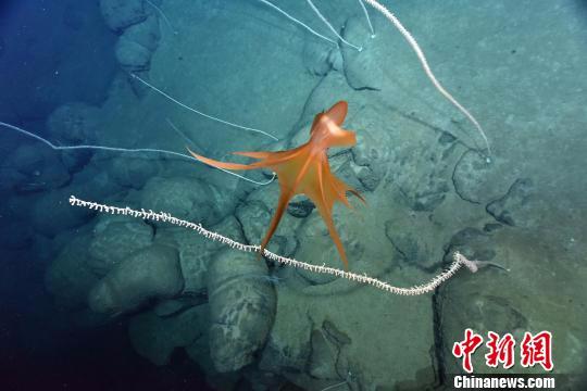 深海须蛸。 供图。