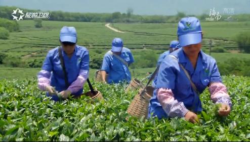 2019中国(海南)早春茶开采季活动启动 集中打造海南国际茶旅品牌
