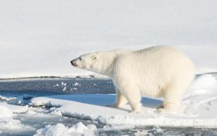 大量北极熊闯入俄罗斯新地岛居民区 当局启动紧急状态